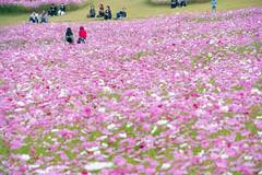 DSC_6640.jpg (d3_plus) Tags: street sky flower nature japan scenery outdoor bloom  streetphoto toyama    cosmos  johana j4 piste flowergarden nanto         nikon1    1nikkorvr10100mmf456 1 nikon1j4  yumenodairaskiarea