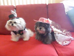 Titanic theme costumes - Giupetto and Gianna (DianaDesignsNY and the Gs) Tags: halloween tuxedo dogclothes