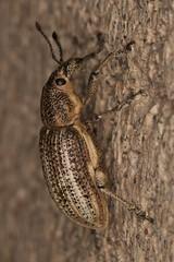 Handsome weevil (zosterops) Tags: macro australia tasmania hobart coleoptera insecta curculionidae kenkoextensiontubes aterpinae canonmacrolensef100mm canoneos550d pelororhinus
