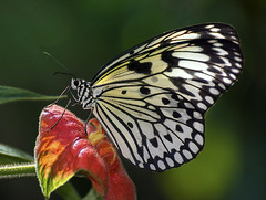 Paper Kite Butterfly feeding on Hot Lips Flower (Psychotria poeppigiana), Wings of the Tropics, Fairchild Tropical Botanic Garden. (pedro lastra) Tags: test macro nikon shots review sample d750