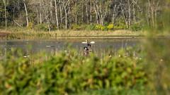 The Swans of Whitewater 2014 (flyfshr2009) Tags: minnesota sony swans sony70400g whitewaterstatewildlifemanagementarea sonya7r