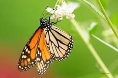 DSC_1530 Monarchvlinder (Daunus plexippus)