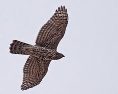 Northern Goshawk (immature) (Keith Carlson) Tags: raptors bif hawks northerngoshawk accipitergentilis accipiters