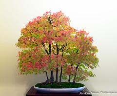 DSC_7125 (Markus Bonsai) Tags: world club deutschland bonsai mannheim markus bcd ausstellung 2014