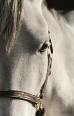 Sir Prize [Explore 2014-10-21] (lowebowes) Tags: portrait blackandwhite horse eye animals eyelashes profile domestic pony equestrian whitehorse stables whitepony