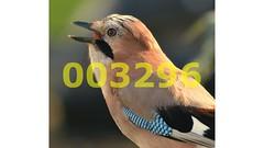 Flickr_003296 (lima_ho_htc) Tags: bird birds jay gardenbirds franbanks rememberthatmomentlevel4 rememberthatmomentlevel1 rememberthatmomentlevel2 rememberthatmomentlevel3 rememberthatmomentlevel9 rememberthatmomentlevel5 rememberthatmomentlevel6 rememberthatmomentlevel10