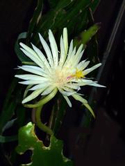 Epiphyllum strictum (explore:  399 on 10-23-14) 10-14* (nolehace) Tags: sanfrancisco flower fall bloom epiphyllum 1014 succ strictum nolehace fz35