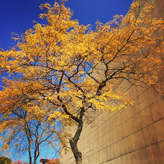 autumn trees sky fall skies bloomington indianauniversity iu impei indianauniversityartmuseum locusttrees indianaskies