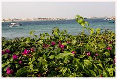.__.__.__. (bebe0o0) Tags: flowers sea flower وردة ورود زهرة بحر ورده جدة أزهار السقالة bebe0o0