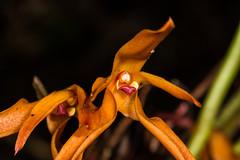 Maxillaria sp. (PenduSeb - 2670m) Tags: santander orquideas maxillaria labelleza