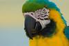 Papagai (Felix Schürmeyer | Fotografie | PicturePS98) Tags: tiere orte vögel grece papagai ierapetra lebewesen vã¶gel