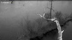 Sapsucker Pond lightning flash 2014-05-09 02.17AM (Cornell Lab of Ornithology) Tags: greatblueheron sapsuckerwoods cornelllabofornithology cornellherons