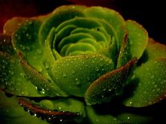 Aferrada a la tierra igual me defiendo (mnovela2293) Tags: planta canarias rocio suculenta aeonium arboreum siempreviva crassa