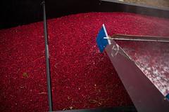 L3007929 (sswee38823) Tags: cranberrybog cranberries cranberry carverma carver ma massachusetts southcarverma newengland photography leica leicam leicamtype240 leicacamera summiluxm11435asph summilux35 leicasummiluxm35mmf14asphfle harvest seansweeneyphotographer seansweeney