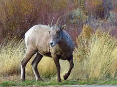 Bighorn Sheep (takeruyamato44) Tags: park wild baby mountain animals bill kid buffalo sheep state wildlife wyoming bighorn wilderness cody herd mounatins oviscanadensis canonpowershotsx40hs