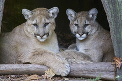 My how they have grown (ucumari photography) Tags: november animal mammal zoo nc north olive heath carolina puma cougar mountainlion 2014 catamount specanimal specanimalphotooftheday ucumariphotography dsc5969