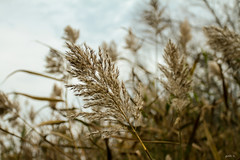 Windy (gabi-h) Tags: sky ontario grass reeds wind blowing phragmites princeedwardcounty gabih