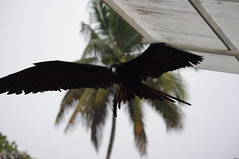 Frigate Bird, Puerto Ayora, Santa Cruz Island, Galapagos Islands (ARNAUD_Z_VOYAGE) Tags: santa street city bridge sunset people food white house black mountains building green art cars church colors beautiful animal america forest sunrise butterfly river de landscape volcano pig ana town fly casa ecuador amazing san place market dragonfly wildlife south capital young artesanal insects andes luis moutains province canton indigenous otavalo cotacachi imbabura wondeful