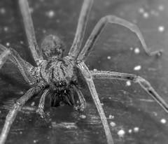 Tegenaria Gigantea (Never0dd0reveN) Tags: animal giant insect spider big legs creature