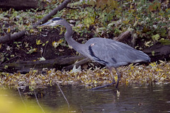 Fall Heron   2382 (Okie Bill 1,000,067 views) Tags: heron canonef40056l canon7d
