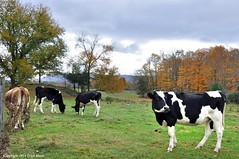 Till The Cows Come Home (Trish Mayo) Tags: autumn fall animals cows massachusetts livestock farmlife hancockshakervillage thebestofday gününeniyisi