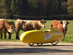 cows2 (albularider) Tags: kuh oberbayern quest velomobil