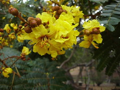 Soga (Nelindah) Tags: fabaceae raintree soga caesalpiniaceae batai copperpod rustyshieldbearer goldenflame yellowflamboyant peltophorumpterocarpum yellowflametree yellowpoinciana taxonomy:family=fabaceae geo:country=indonesia jemerlanglaut goldenflamboyant taxonomy:family=caesalpiniaceae kebunrayapurwodadi sagabarkpeltophorum yellowgoldmohur taxonomy:binomial=peltophorumpterocarpum yellowbatai batailaut jemerelangsoga nelindah benqac100 purwodadibotanicgarden sogajambal jemerelanglaut