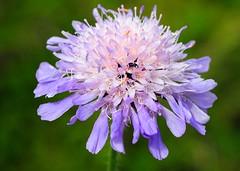Bloom with beetles (gillybooze) Tags: flower macro beetle blooms ©allrightsreserved