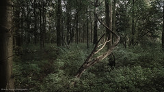Anguish in the wood (Andy Hough Photography) Tags: trees sony a77 sonyalpha andyhough slta77 littlewittenhamwood sonyzeissdt1680 andyhoughphotography