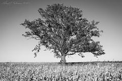 Isolation (Black and White) (anakin1814) Tags: autumn blackandwhite tree fall field corn solo isolation