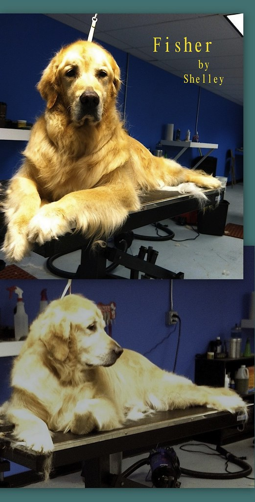 Shellie Dog Breed