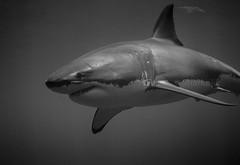 The ocean master - Le maitre de l'ocean (Sharkoliv) Tags: underwater greatwhiteshark 2014 sharkcage guadalupeisland nautilusexplorer