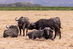 _DSC4644.jpg (helLTea) Tags: animaux afrique mammifère tanzanie bovin ngorongoroconservationarea bovidé buffledafrique