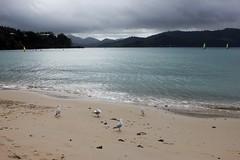 Catseye Gulls (Gillian Everett) Tags: ocean sea coral pacific australia whitsundays queensland hamiltonisland