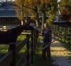 Founder Jim Buckley Pets Horse (Buckley Fence, LLC) Tags: autumn fall illinois goldenhour lightsplash steelfence jimbuckley blackfence epiclight buckleyfence steelboard steelboardhorsefence blackhorsefence