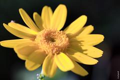 My yellow (FranSight) Tags: pink france flower fleur rose yellow jaune canon flickr champs 100mm été septembre flore facebook moselle 2014 70d eos70d fransight franimage 100mm28iis