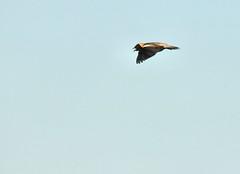 2014 Bobolink In Flight (DrLensCap) Tags: bird robert wisconsin hiking wildlife flight cook national area marsh bud wi kramer refuge horicon in bobolink waupun