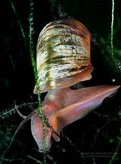 Ramshorn Snail (Vern Krutein) Tags: life water animal underwater snail ramshorn lifeform aquatic animalia mollusca gastropoda freshwater invertebrate molluscs gastropods aalv01p0906b