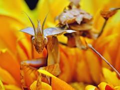 Idolomantis diabolica male, L5 (_papilio) Tags: macro mantis nikon invertebrate canonmpe65mm papilio mantid arthropod diabolica idolomantis sigma150mmapo d800e