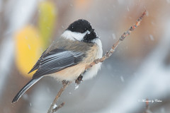 Chickadee in snow (Canon Queen Rocks (2,336,000 + views)) Tags: wild snow calgary birds wings colours wildlife feathers perched markings blackcappedchickadee ilobsterit