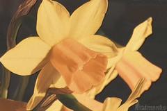 Lent lilies, (Klaus • infrequently online •) Tags: lentlilies wilddaffodil narcissuspseudonarcissus osterglocke osterglocken osterglöckchen gelbenarzisse falschernarzissus trompetennarzisse märzenbecher påskelilje narcitina narcisina keltanarsissi narcissejaune narcissetrompette wildenarcis påsklilja нарциссложный ラッパスイセン 黄水仙 blumen flowers fiori flores fleurs फूल bloemen 花 цветы bláthanna blommor kukkia çiçek λουλούδια blomster الزهور bunga цвеће kwiaty hoa פרחים blóm rože bungabunga cvijeće цветя