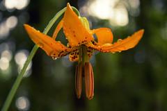 Tiger in the Woods (gwendolyn.allsop) Tags: bloom wildflower orange pnw raindrops waterdrop closeup