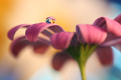 Up (Marilena Fattore) Tags: macro tamron 90mm canon colors water waterdrops droplet nature closeup focus petals floralart reflection bokeh yellow pink pastel delicate flower garden flores flora