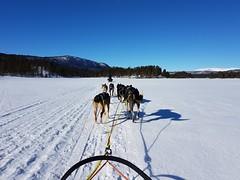 When a dream comes true (norella.giorgia) Tags: dog sledding snow white husky animal geilo norway norvegia cani slitta musher winter cold ice race samsung s7