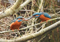 My best ever shot. (kerrie hillebrandt) Tags: fave comments colour people fish nikonp610 outdoor animal nature kingfisher birds wildlife