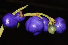 Dianella caerulea (andreas lambrianides) Tags: dianellacaerulea phormiaceae blueflaxlily australianflora australiannativeplants australianrainforests australianrainforestfruits arffs bluearffs arfp nswrfp qrfp vicrfp tasrfp
