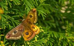 butterfly (05) - Aglia tau (Vlado Ferenčić) Tags: butterfly closeup closeupmacro macro leptiri nikond600 podravina novovirje sigma15028macro vladoferencic agliatau noćnopaunće animalplanet