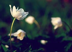 A touch of Spring (Zèè) Tags: wildflower wood anemone windflower nature natur springflowers flower white wildblume plant fleur sauvage nemerosa anémone sylvie woodland blume plante pflanze