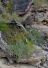 Atriplex cinerea and Tetragonia decumbens, Shelley Cove, near Dunsborough, WA, 31/10/16 (Russell Cumming) Tags: plant weed atriplex atriplexcinerea chenopodiaceae tetragonia tetragoniadecumbens aizoaceae shelleycove dunsborough busselton westernaustralia