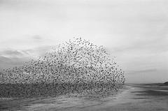 (eaalexander) Tags: canonae1 ilfordhp5 handprinted fibrepaper ilford hp5 blackpool england film 35mm analog winterwatch autumnwatch starlings murmuration birds